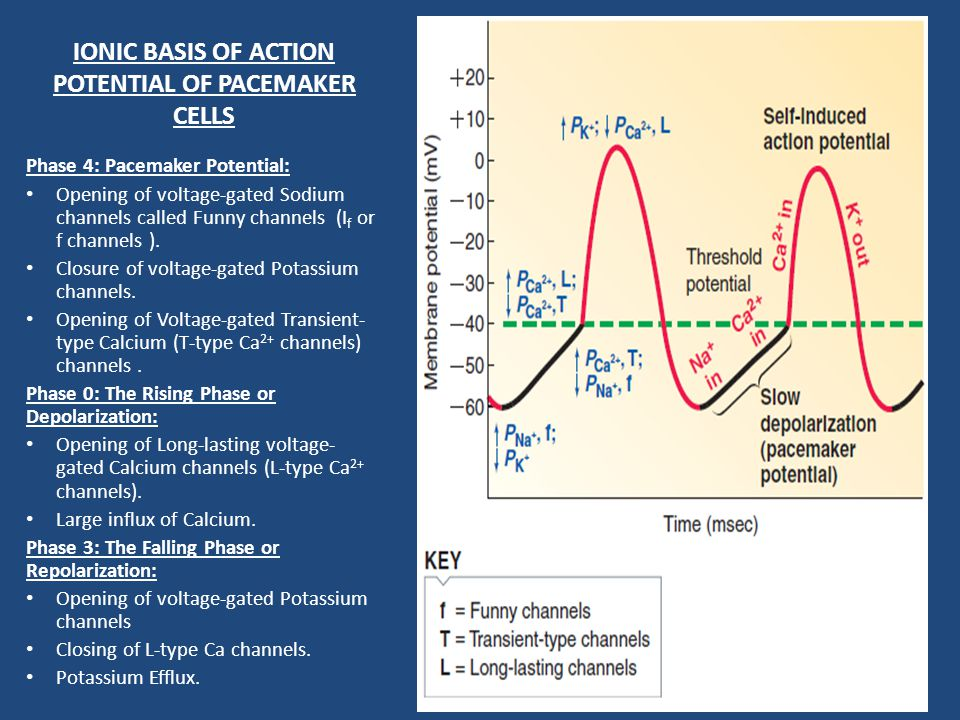 IONIC BASIS OF ACTION POTENTIAL OF PACEMAKER CELLS
