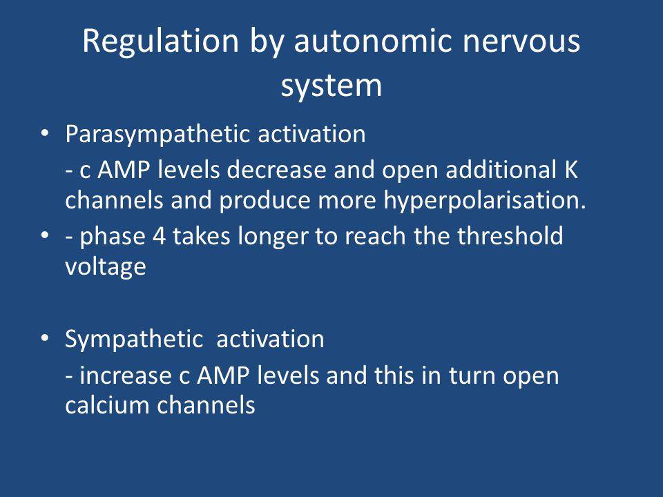 Regulation by autonomic nervous system