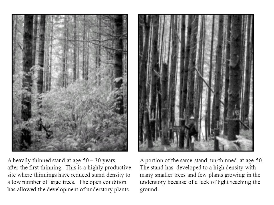 A heavily thinned stand at age 50 – 30 years