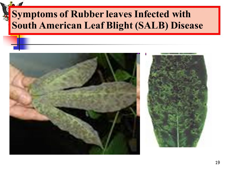 Symptoms of Rubber leaves Infected with South American Leaf Blight (SALB) Disease