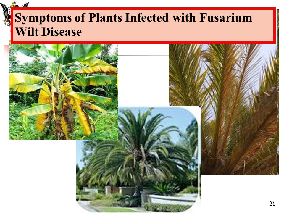 Symptoms of Plants Infected with Fusarium Wilt Disease