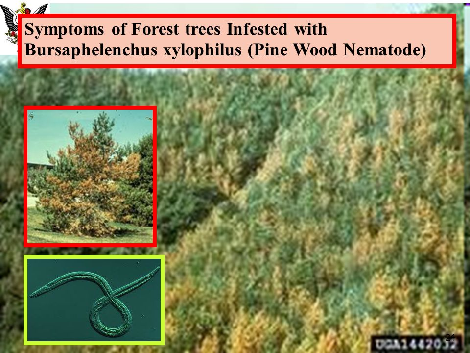 Symptoms of Forest trees Infested with Bursaphelenchus xylophilus (Pine Wood Nematode)