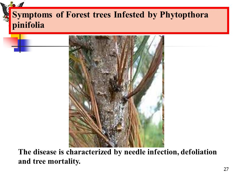 Symptoms of Forest trees Infested by Phytopthora pinifolia
