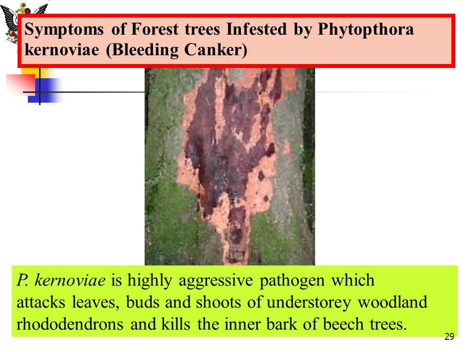 Symptoms of Forest trees Infested by Phytopthora kernoviae (Bleeding Canker)