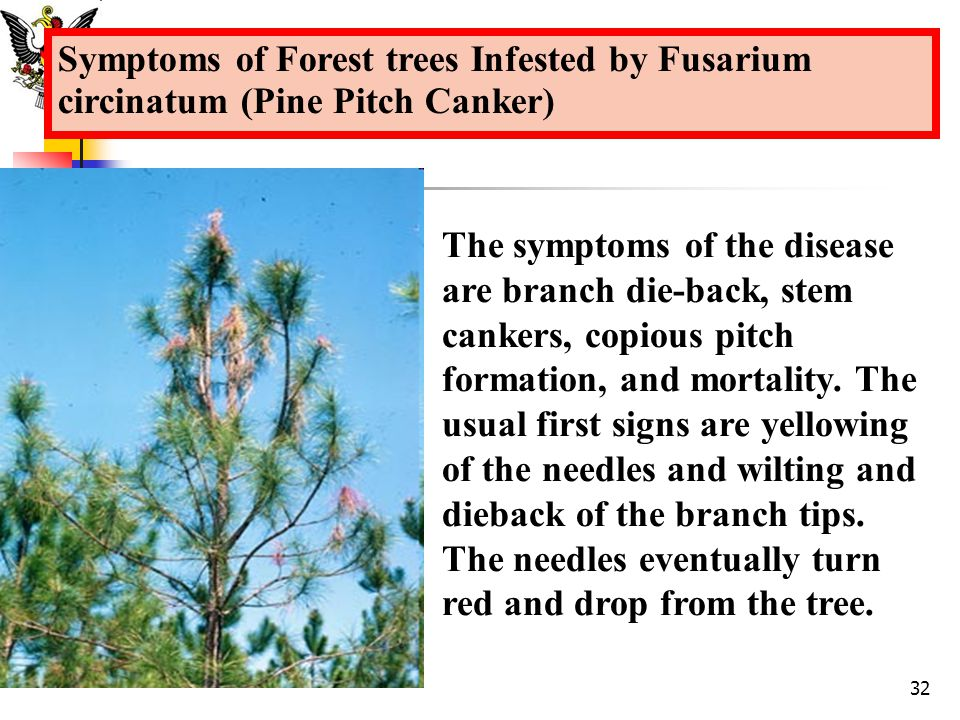 Symptoms of Forest trees Infested by Fusarium circinatum (Pine Pitch Canker)