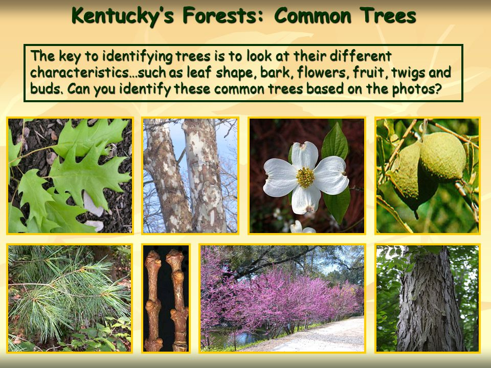 Kentucky's Forests: Common Trees