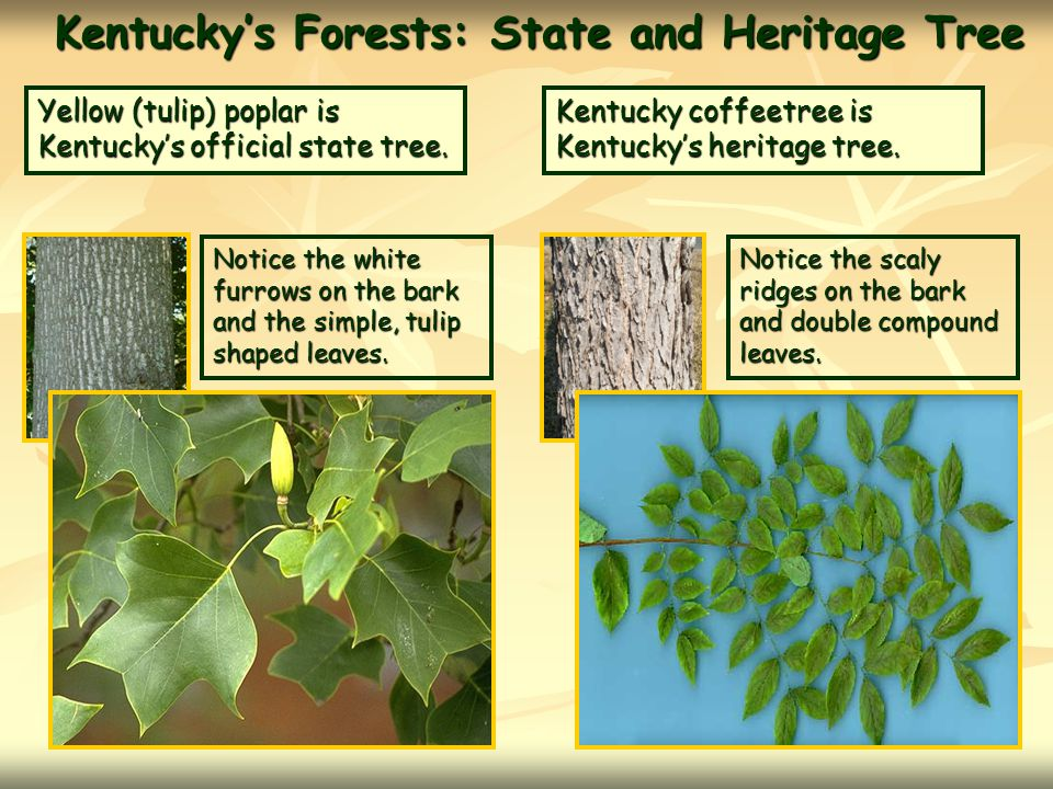 Kentucky's Forests: State and Heritage Tree