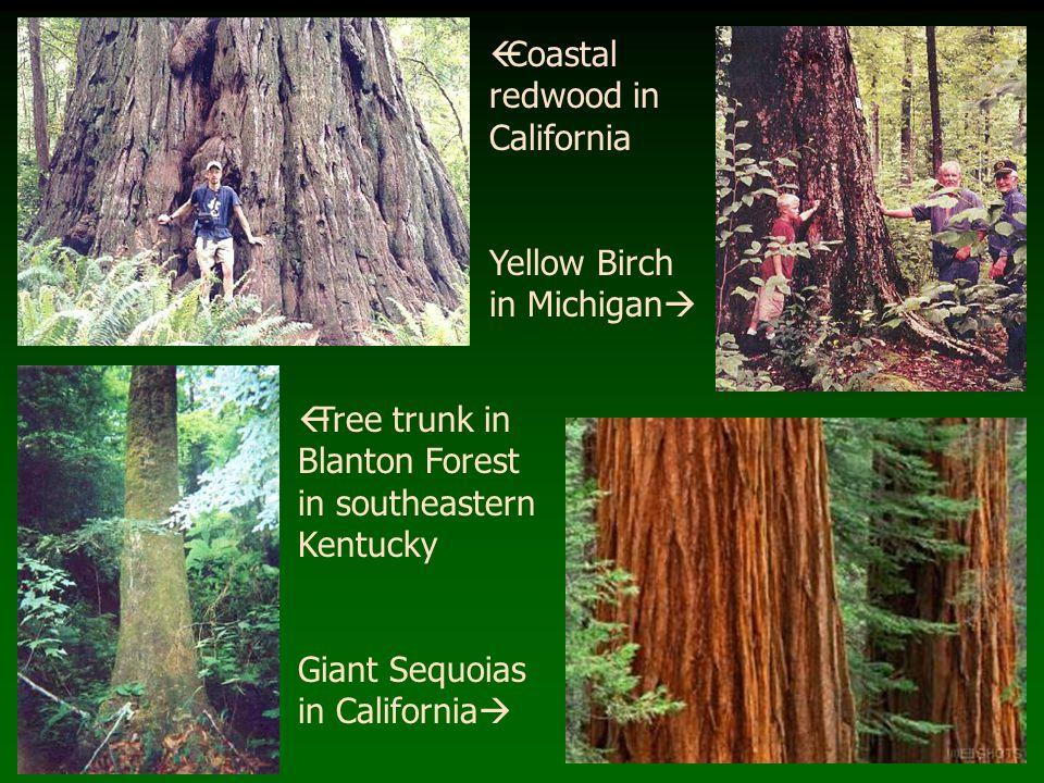 Coastal redwood in California