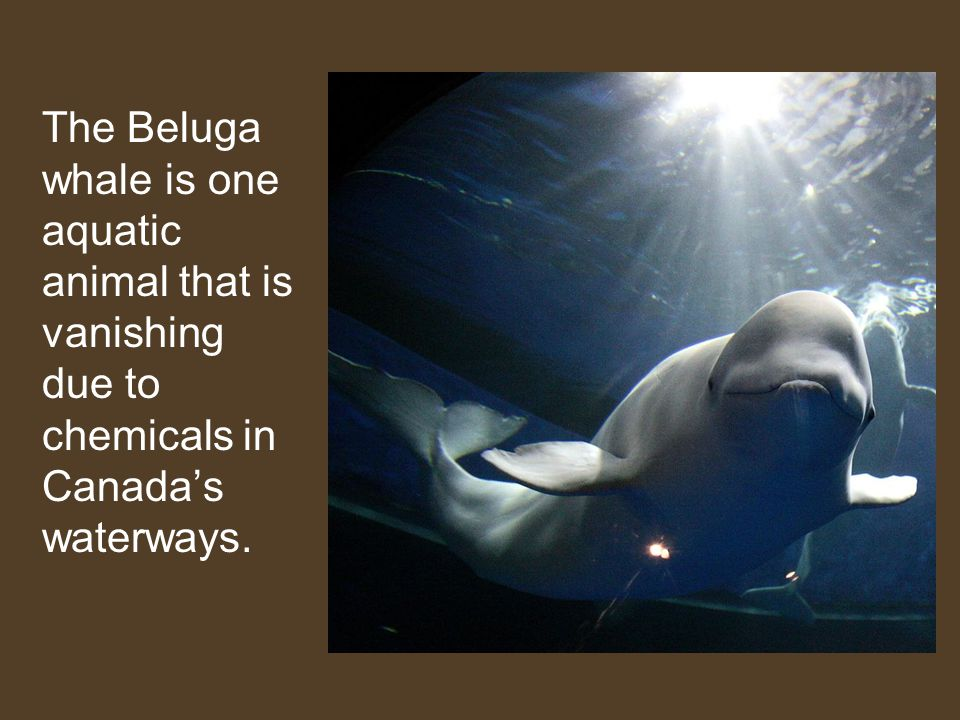 The Beluga whale is one aquatic animal that is vanishing due to chemicals in Canada's waterways.
