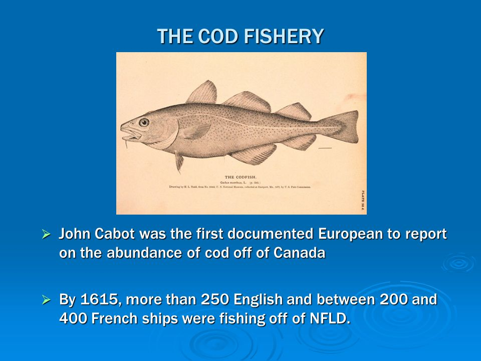 THE COD FISHERY John Cabot was the first documented European to report on the abundance of cod off of Canada.