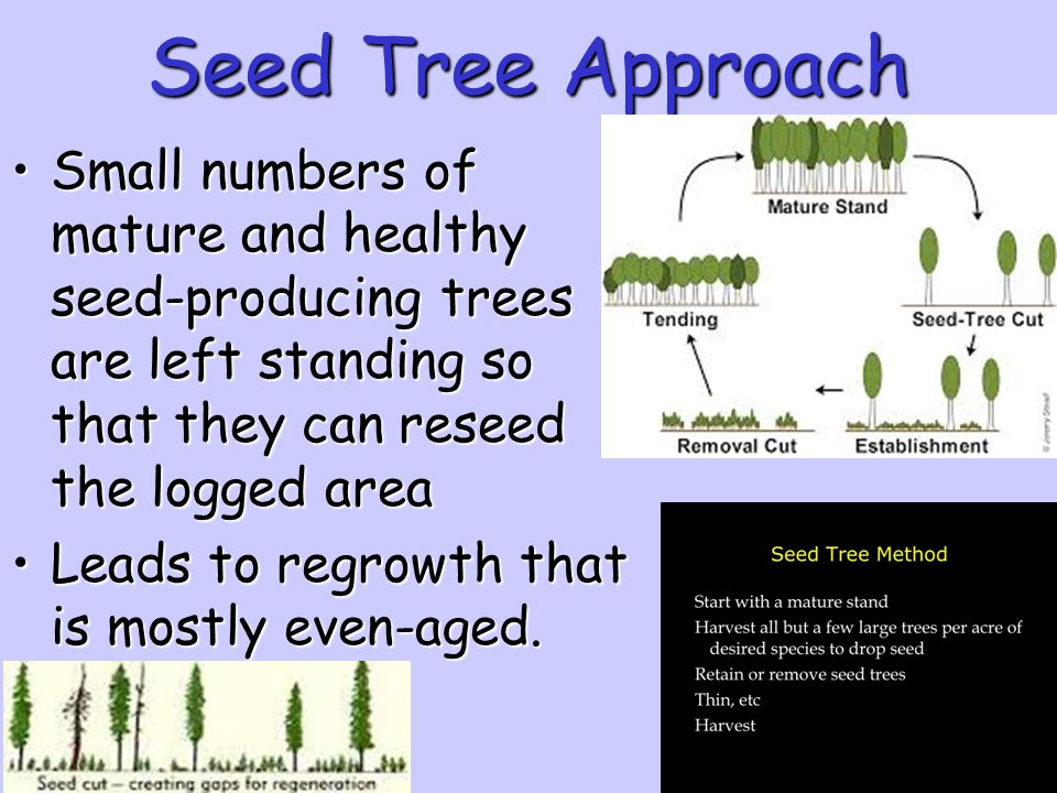 Seed Tree Approach Small numbers of mature and healthy seed-producing trees are left standing so that they can reseed the logged area.