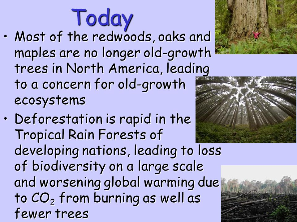 Today Most of the redwoods, oaks and maples are no longer old-growth trees in North America, leading to a concern for old-growth ecosystems.