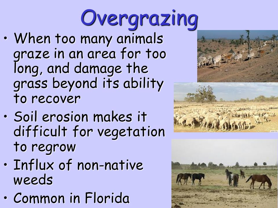 Overgrazing When too many animals graze in an area for too long, and damage the grass beyond its ability to recover.