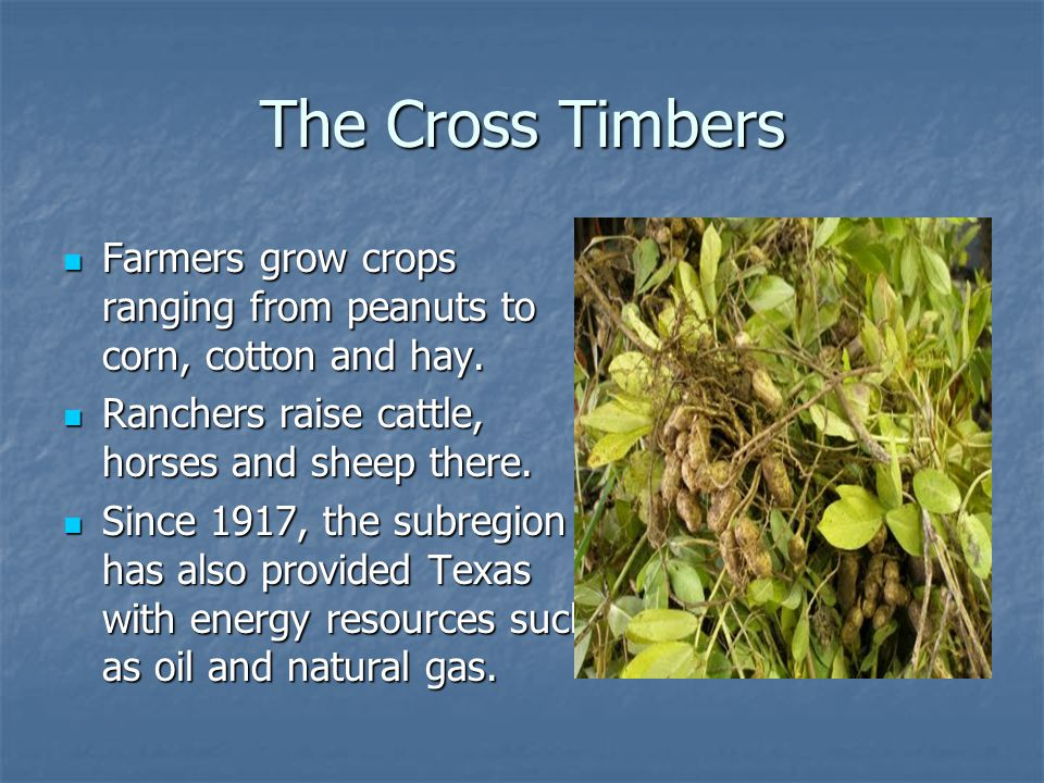 The Cross Timbers Farmers grow crops ranging from peanuts to corn, cotton and hay. Ranchers raise cattle, horses and sheep there.