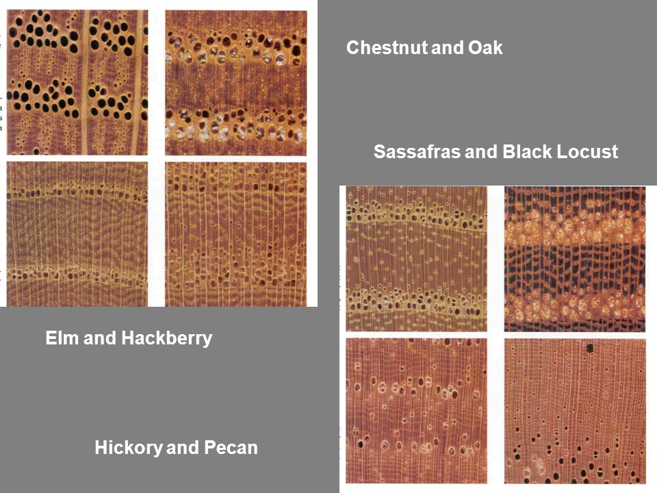 Chestnut and Oak Elm and Hackberry Sassafras and Black Locust Hickory and Pecan
