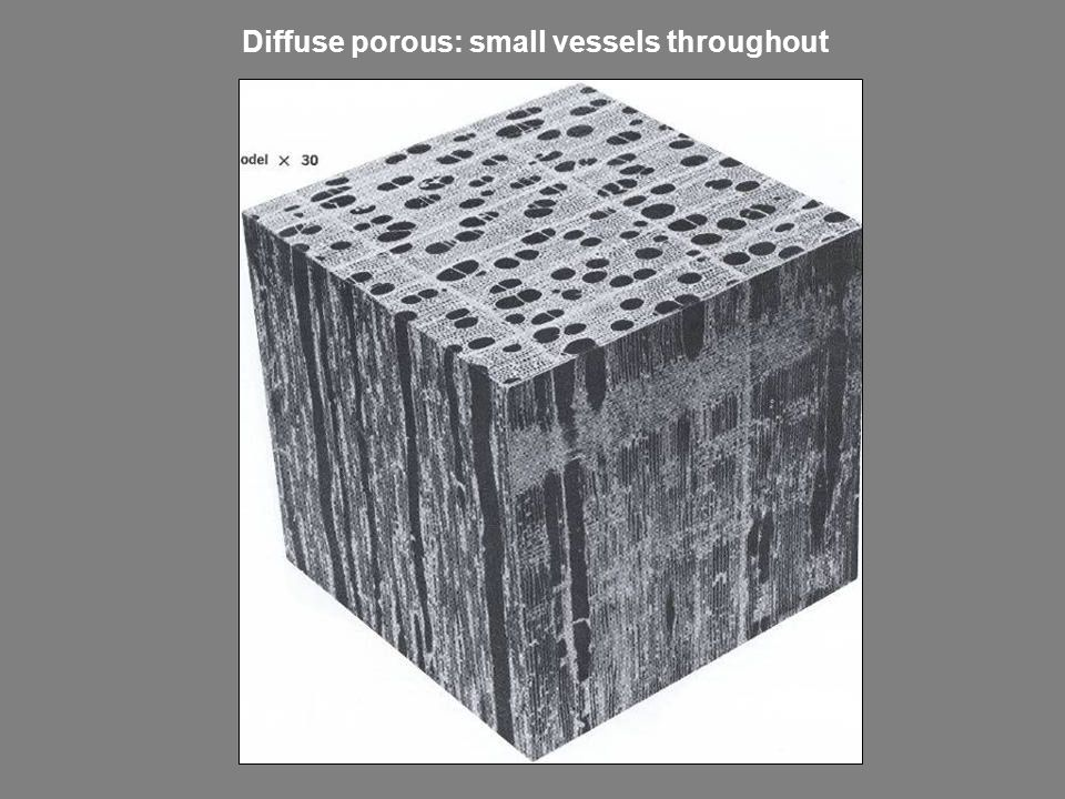 Diffuse porous: small vessels throughout