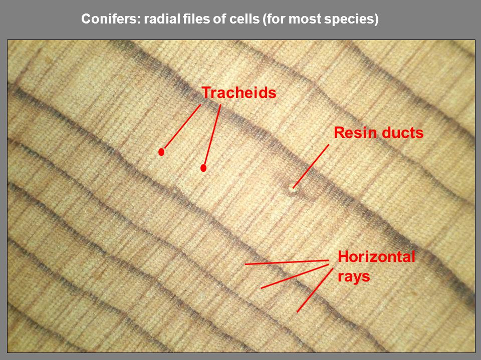 Tracheids Resin ducts Horizontal rays