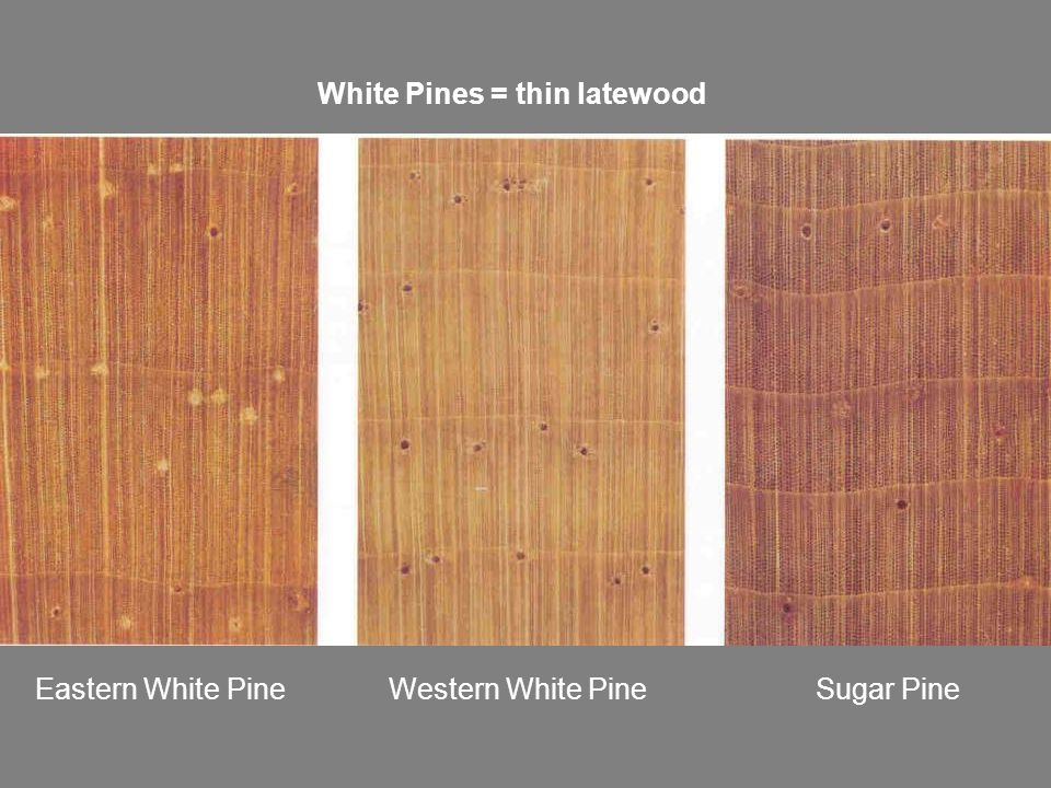 White Pines = thin latewood