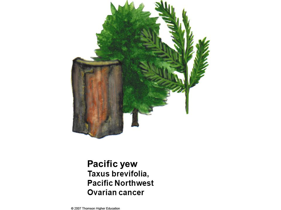 Pacific yew Taxus brevifolia, Pacific Northwest Ovarian cancer