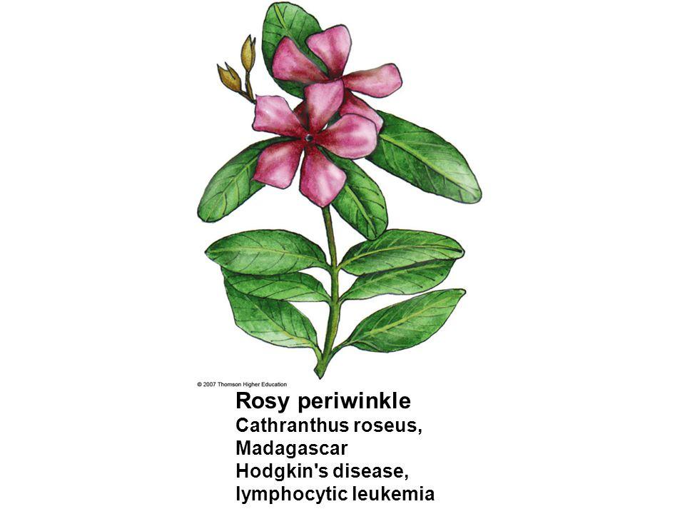 Rosy periwinkle Cathranthus roseus, Madagascar Hodgkin s disease,
