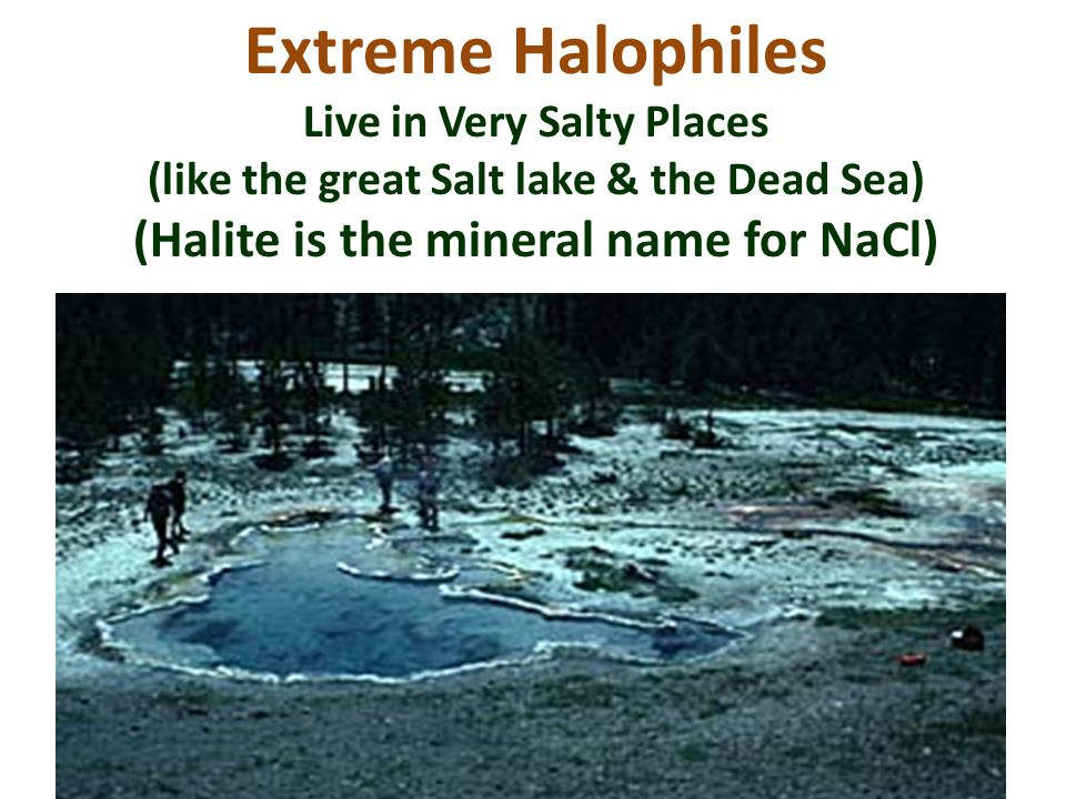 Extreme Halophiles Live in Very Salty Places (like the great Salt lake & the Dead Sea) (Halite is the mineral name for NaCl)