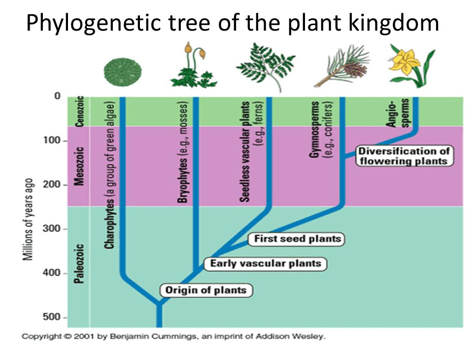 Phylogenetic tree of the plant kingdom