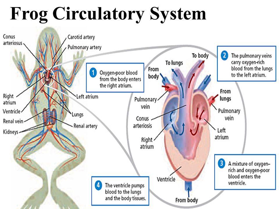 Frog Circulatory System