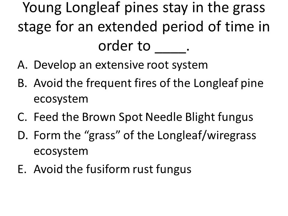 Young Longleaf pines stay in the grass stage for an extended period of time in order to ____.