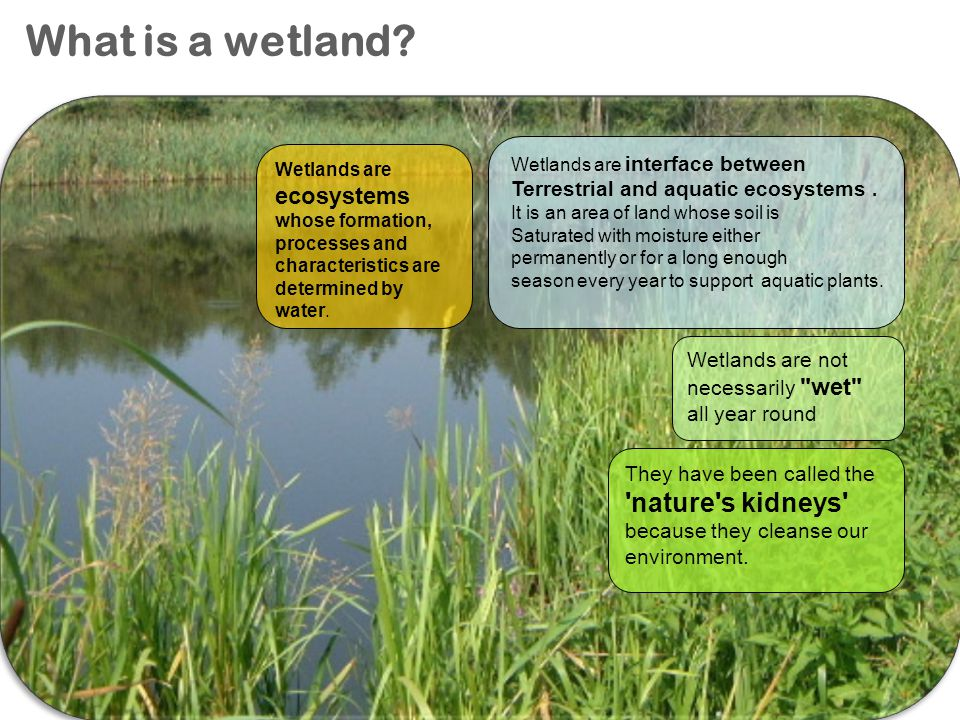 What is a wetland Wetlands are interface between. Terrestrial and aquatic ecosystems . It is an area of land whose soil is.