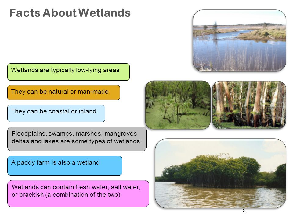 Facts About Wetlands Wetlands are typically low-lying areas