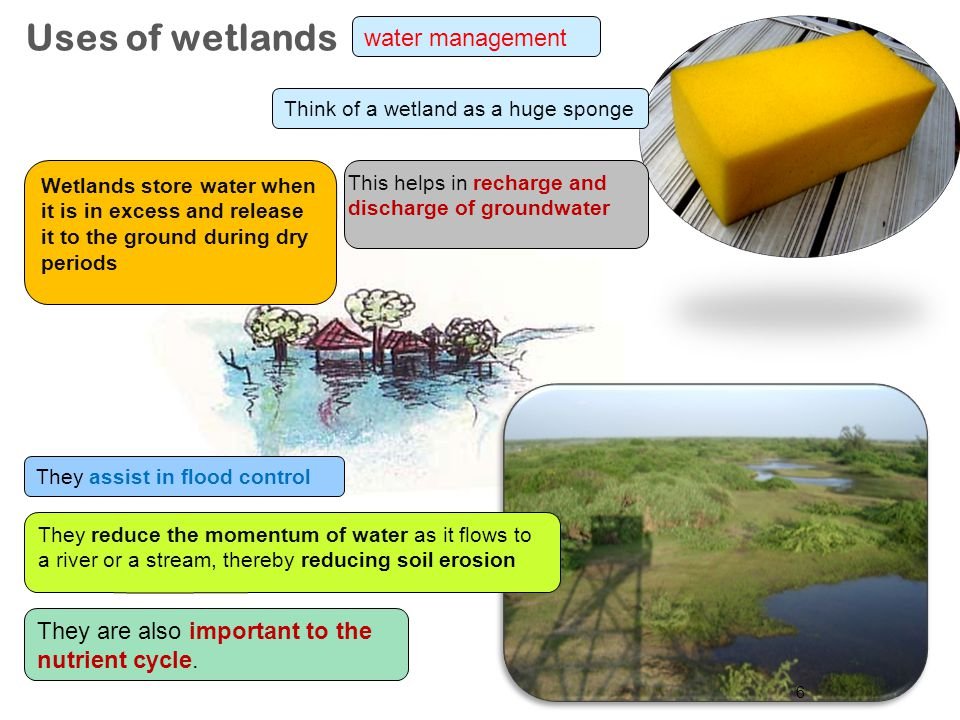 Uses of wetlands water management They are also important to the