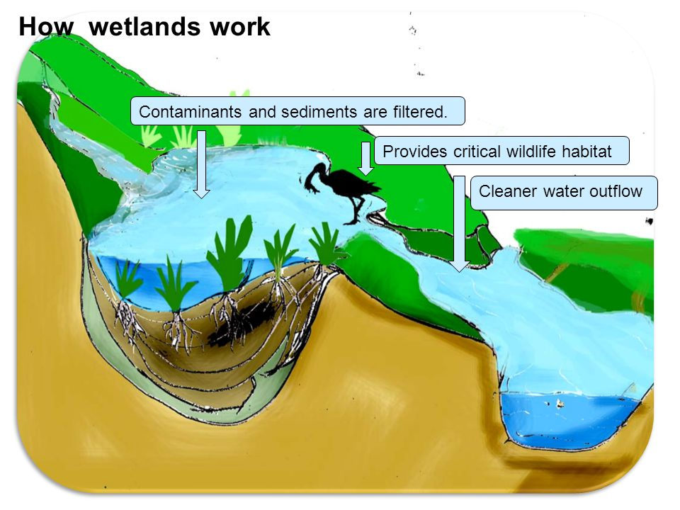 How wetlands work Contaminants and sediments are filtered.