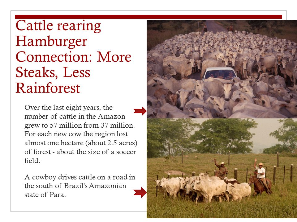 Cattle rearing Hamburger Connection: More Steaks, Less Rainforest