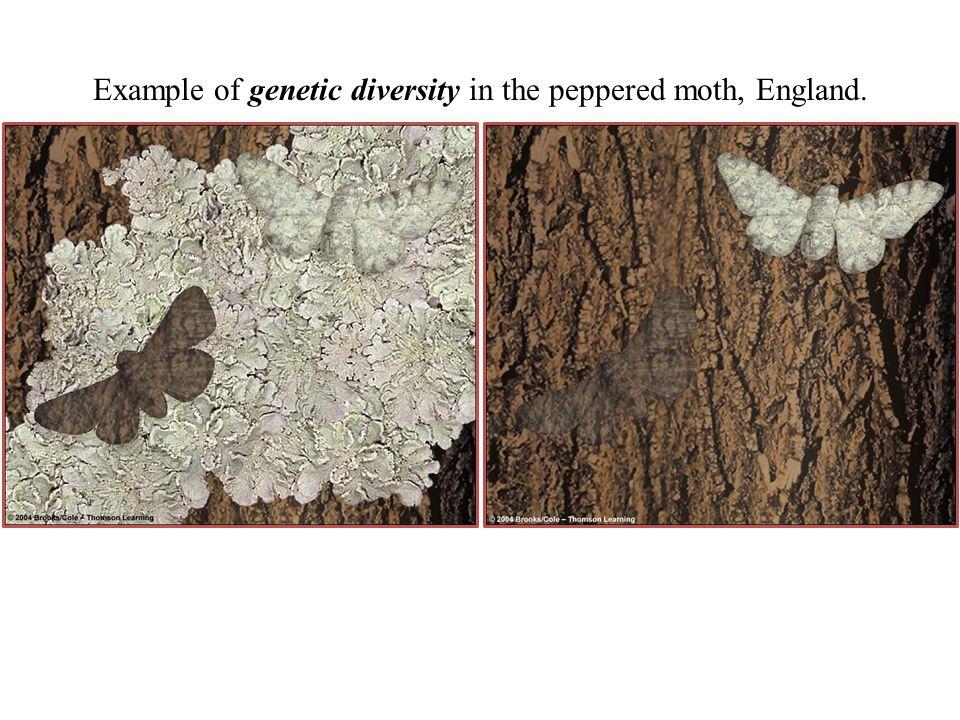 Example of genetic diversity in the peppered moth, England.