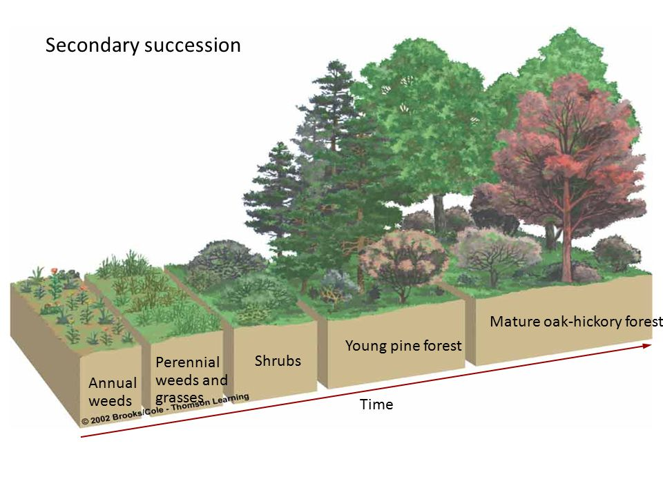 Secondary succession Mature oak-hickory forest Young pine forest