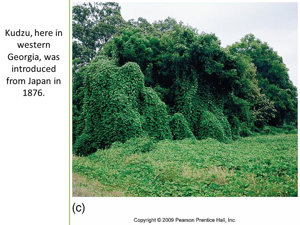 Kudzu, here in western Georgia, was introduced from Japan in 1876.