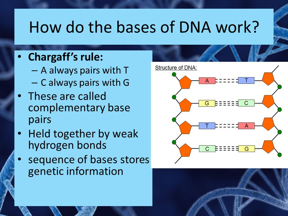 How do the bases of DNA work