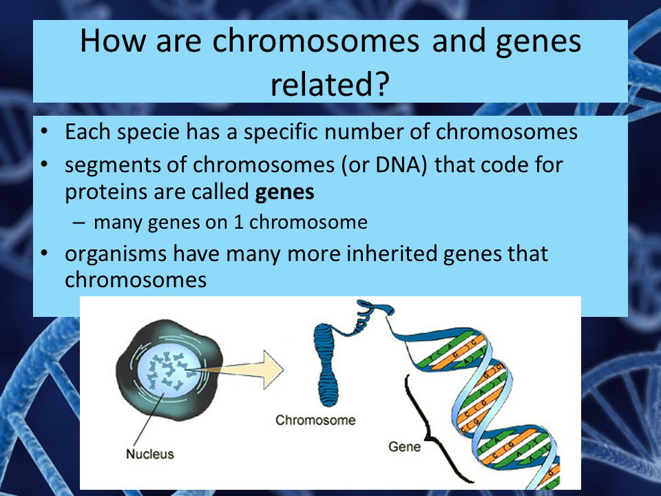 How are chromosomes and genes related
