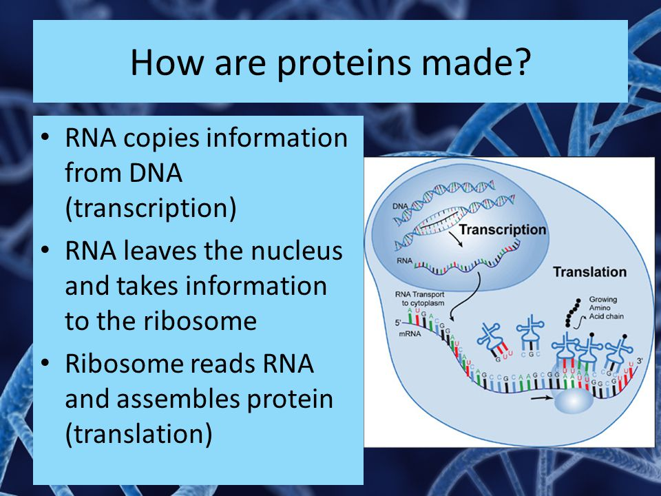 How are proteins made RNA copies information from DNA (transcription)