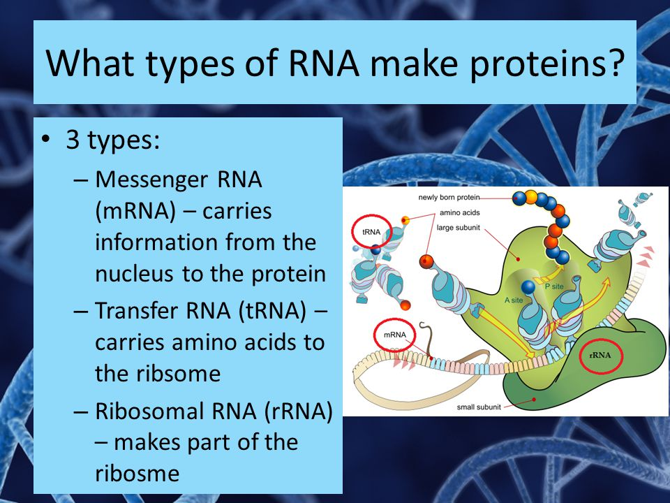 What types of RNA make proteins