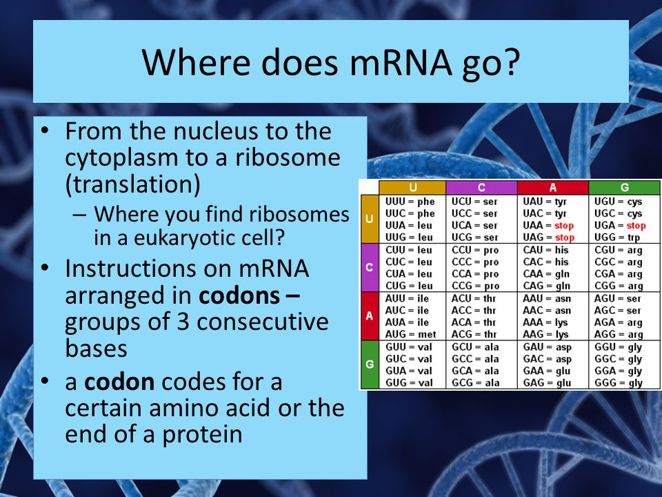 Where does mRNA go From the nucleus to the cytoplasm to a ribosome (translation) Where you find ribosomes in a eukaryotic cell
