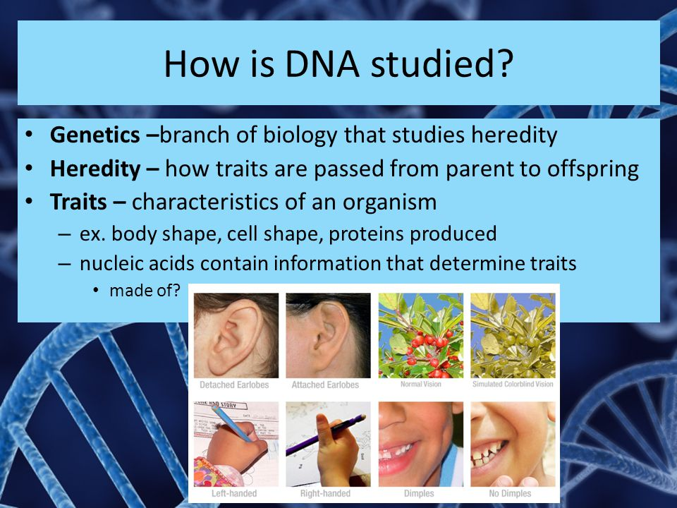 How is DNA studied Genetics –branch of biology that studies heredity