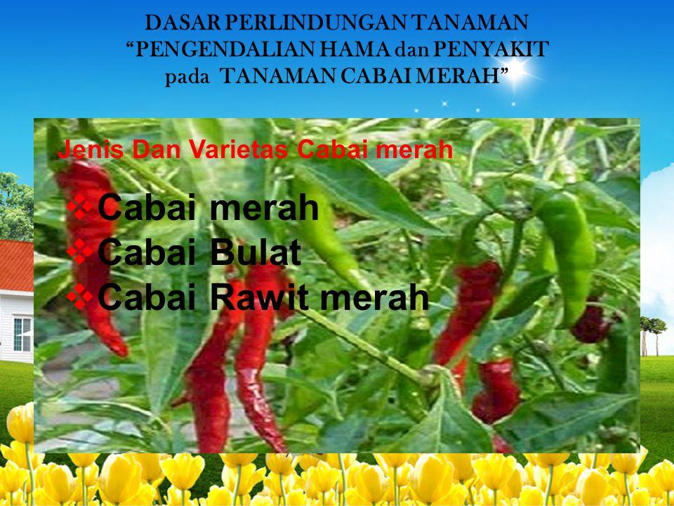 Cabai merah Cabai Bulat Cabai Rawit merah