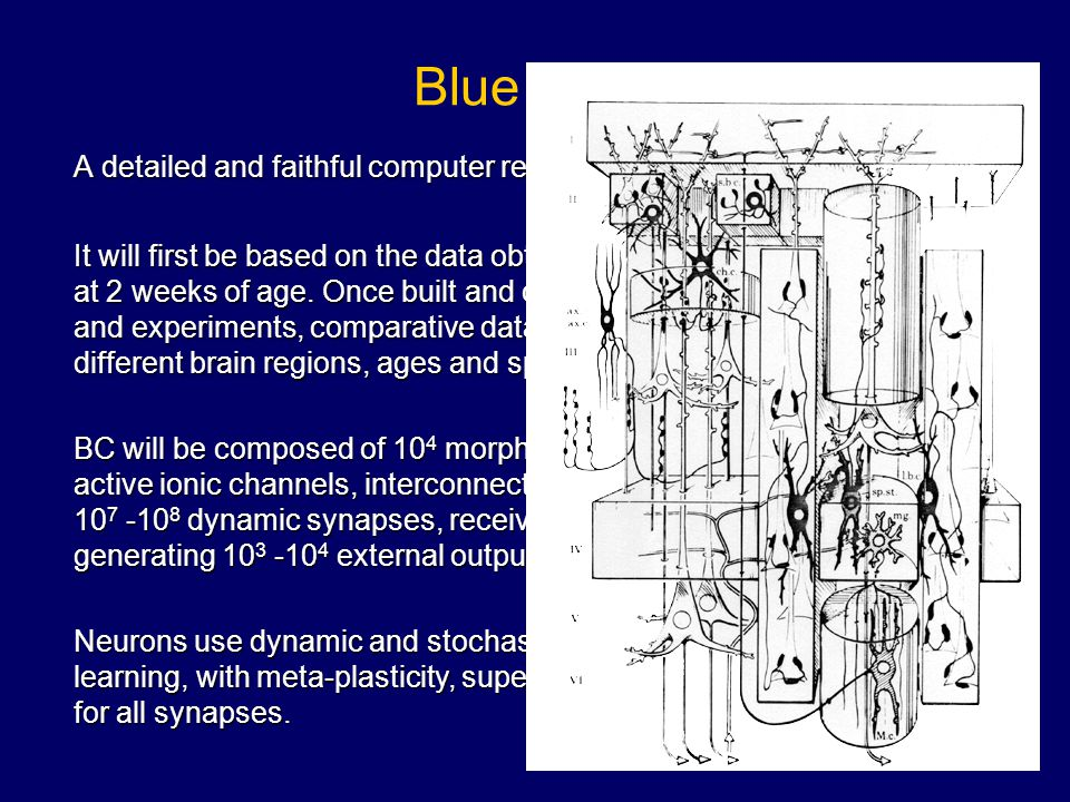 Blue Column A detailed and faithful computer reproduction of the Neocortical Column.