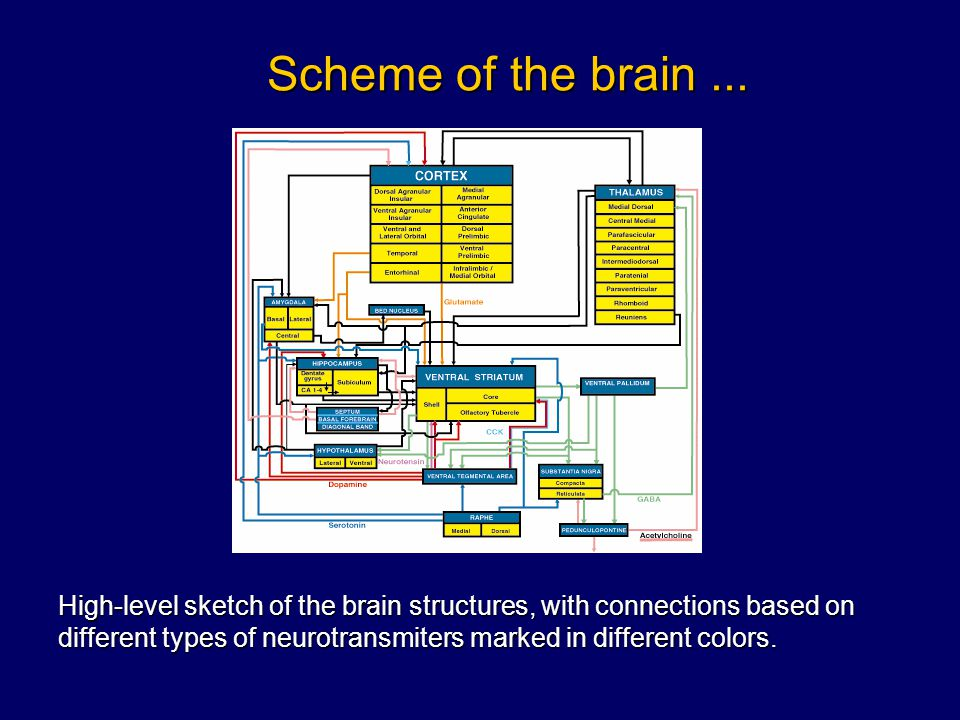 Scheme of the brain ...