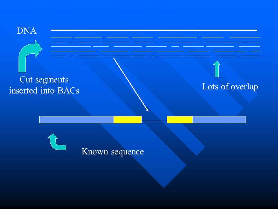 Cut segments inserted into BACs