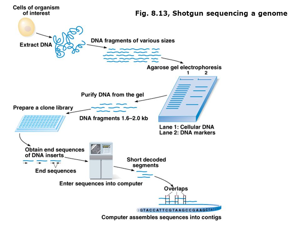 Fig. 8.13, Shotgun sequencing a genome