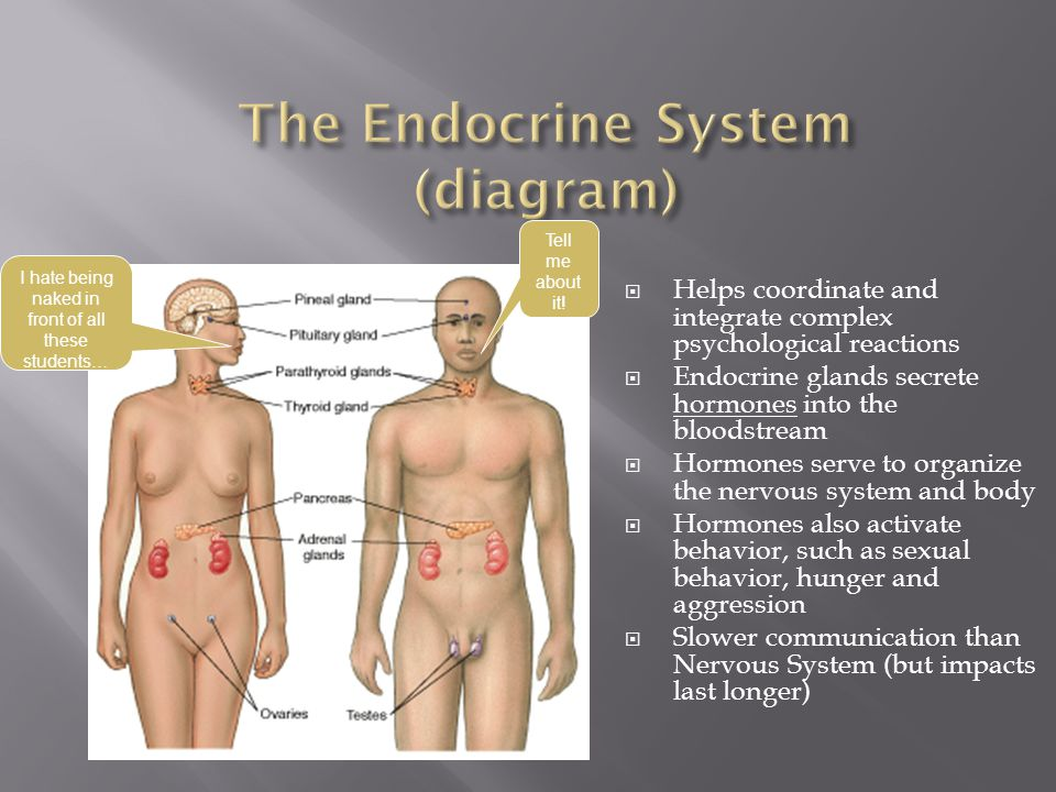 The Endocrine System (diagram)