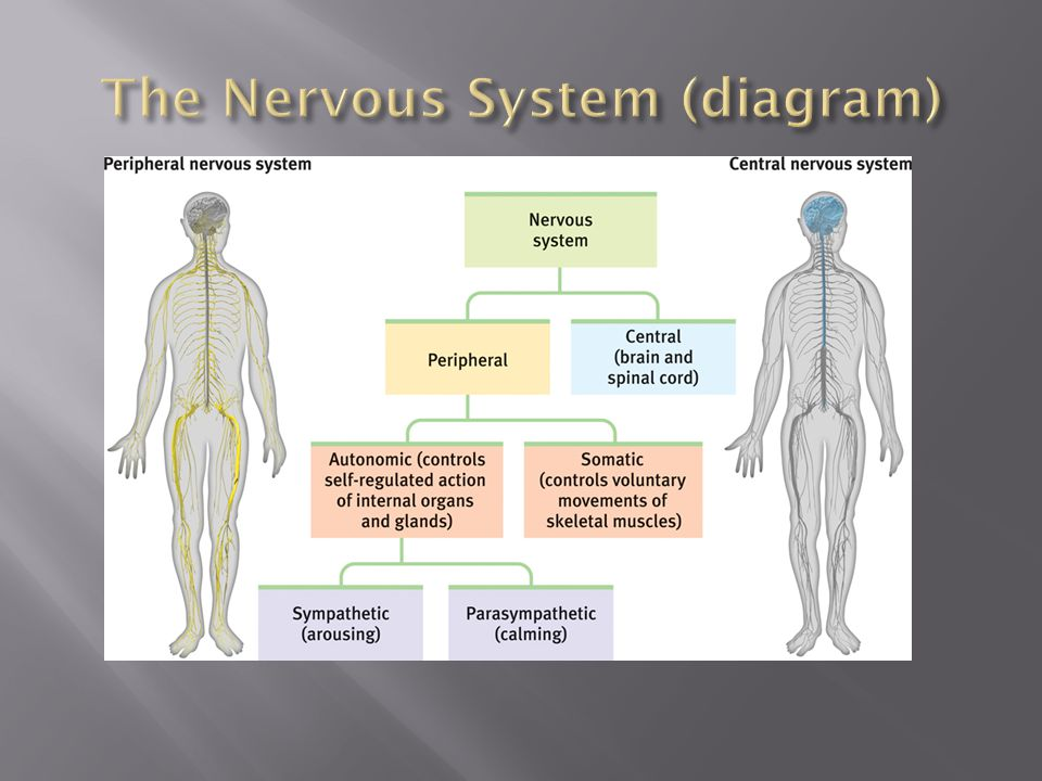 The Nervous System (diagram)