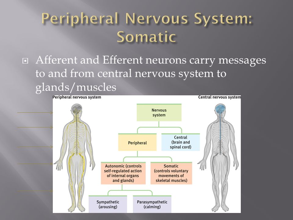 Peripheral Nervous System: Somatic